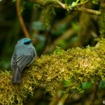 Dull Blue Flycatcher