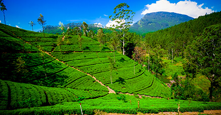 Highlands and Tea Country